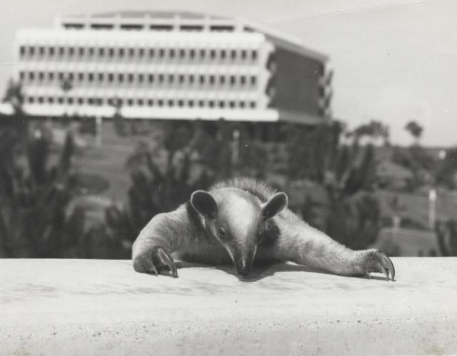 baby_anteater_circa_1968